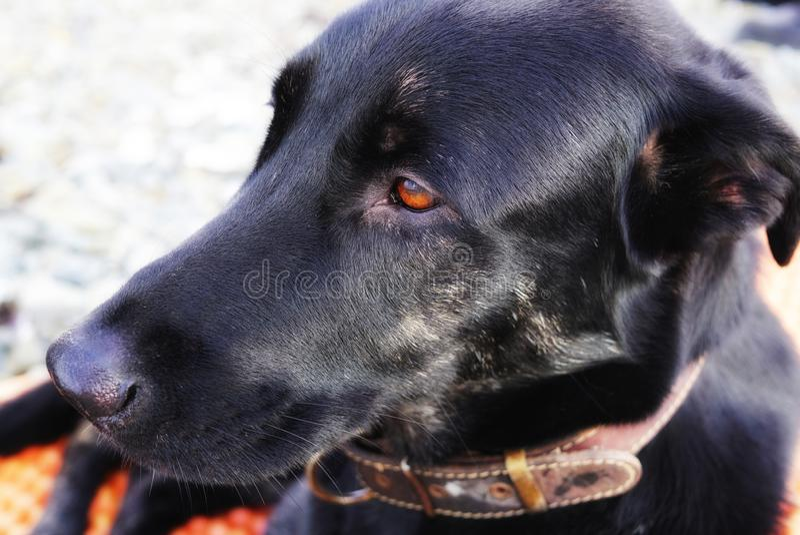 Portret duży złowrogi pies Czarny pies z jaskrawymi oczami Rosja fotografia royalty free