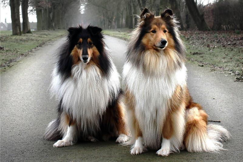 Portret dwa dumny i eleganccy collies Fiona i Chanel zdjęcie stock