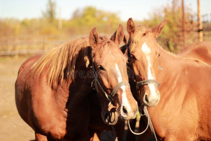 Portret dwa konia w lecie zdjęcia stock