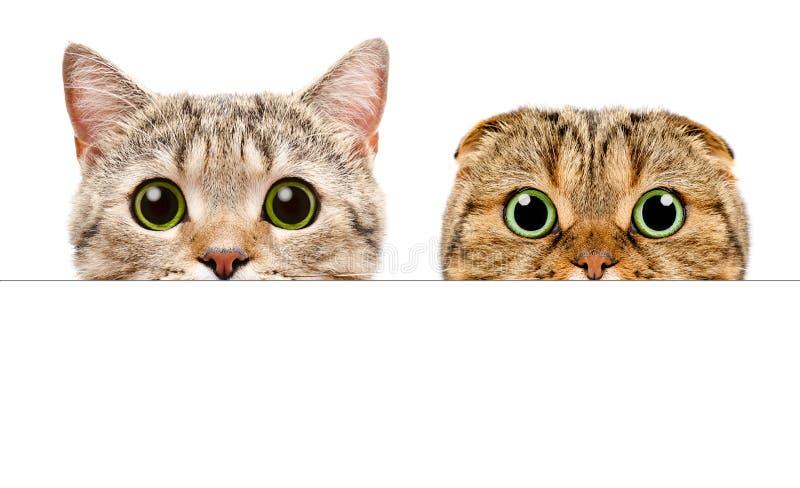 Portret dwa kota zerkania za od sztandaru zdjęcia stock