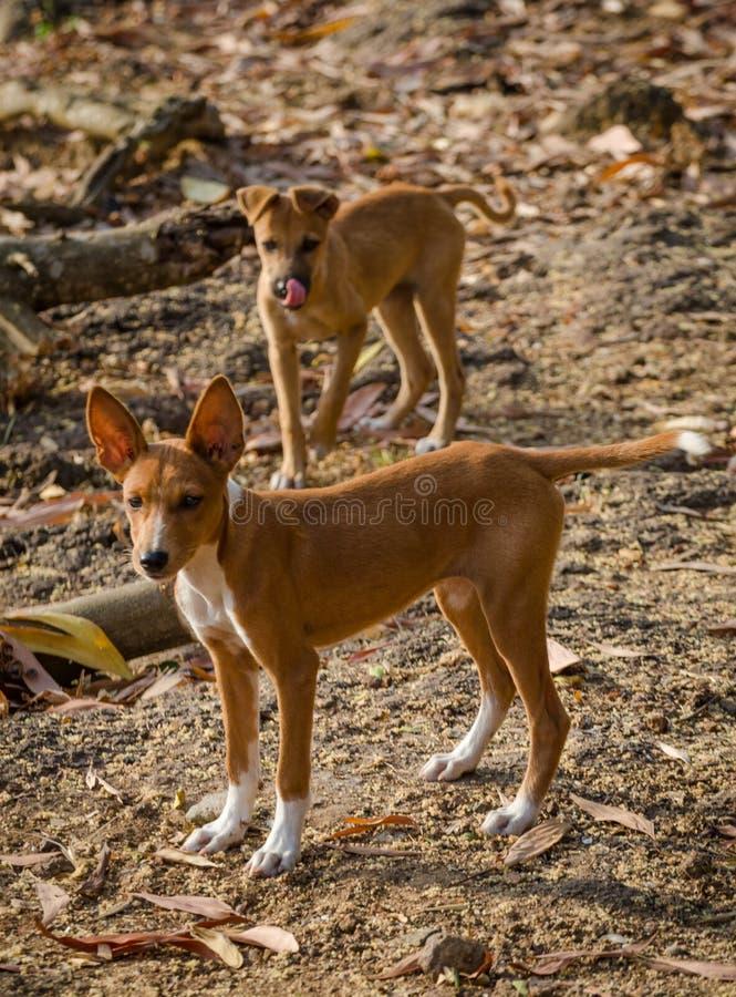 Portret dwa pięknych potomstwa mieszającego biegowego przybłąkanego psa w Sierra Leone, Afryka fotografia royalty free