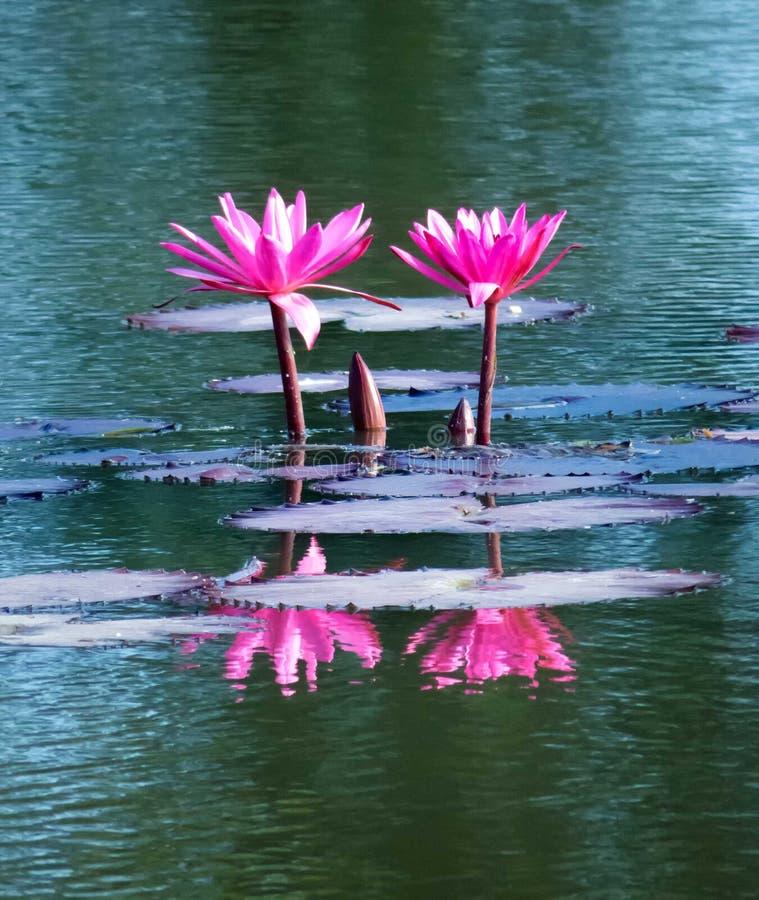 Portret dwa różowego lotosowego kwiatu z odbiciem w wodzie zdjęcia royalty free