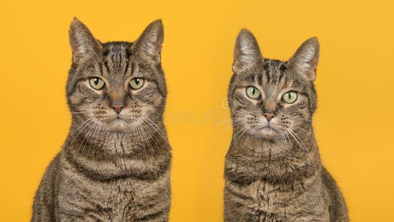 Portret dwa tabby kota męski i żeński kot patrzeje t zdjęcie stock