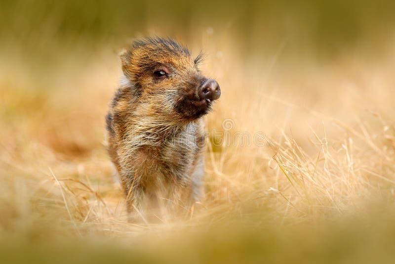 Portret dzika świnia, trawy łąka Młody Dziki knur, Sus scrofa, biega w trawy łące, czerwony jesień las w tle, ani zdjęcie royalty free