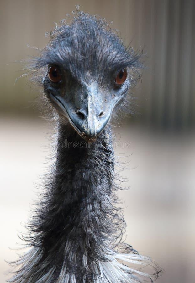 Portret emu obrazy stock