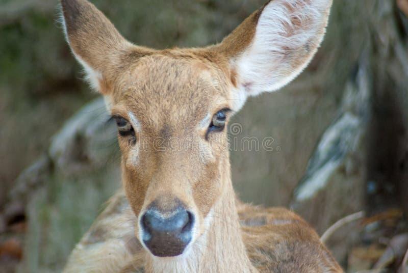 Portret fotografia żeński jeleni gapić się dobro kamera obrazy royalty free