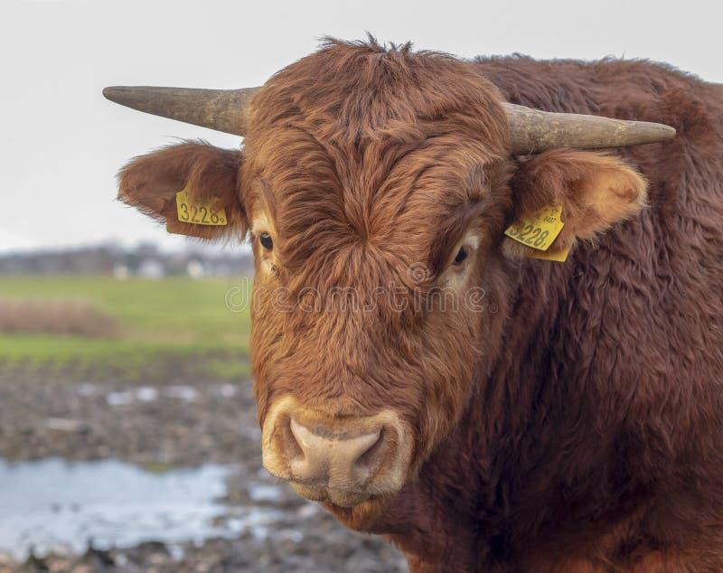 Portret Francuski Limousin byk, światło, rogi i żółte uszate etykietki, - różowy nos, frontowy widok zdjęcia stock