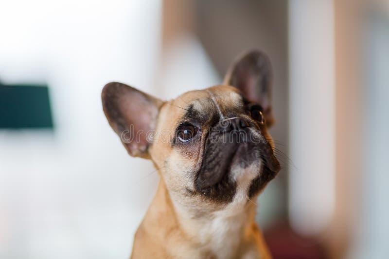 Portret Francuskiego buldoga szczeniak obraz royalty free