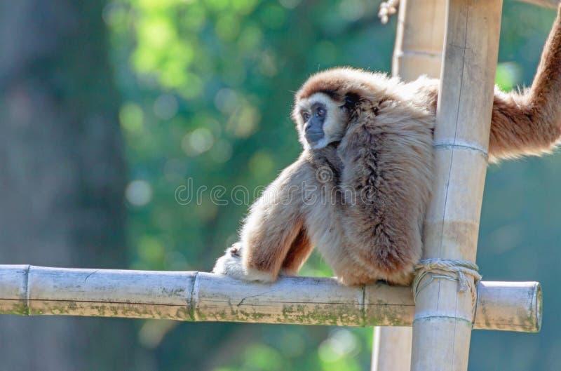 Portret gibon małpa obrazy royalty free
