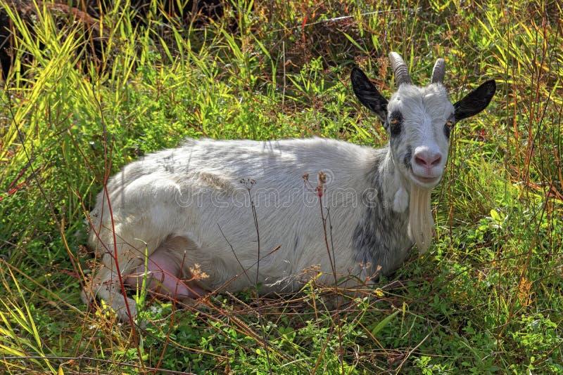 portret grassing na zielonym lato łąki polu biała kózka fotografia royalty free