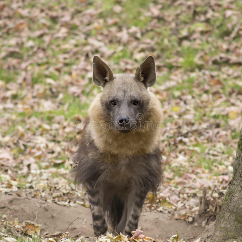 Portret hiena obraz royalty free