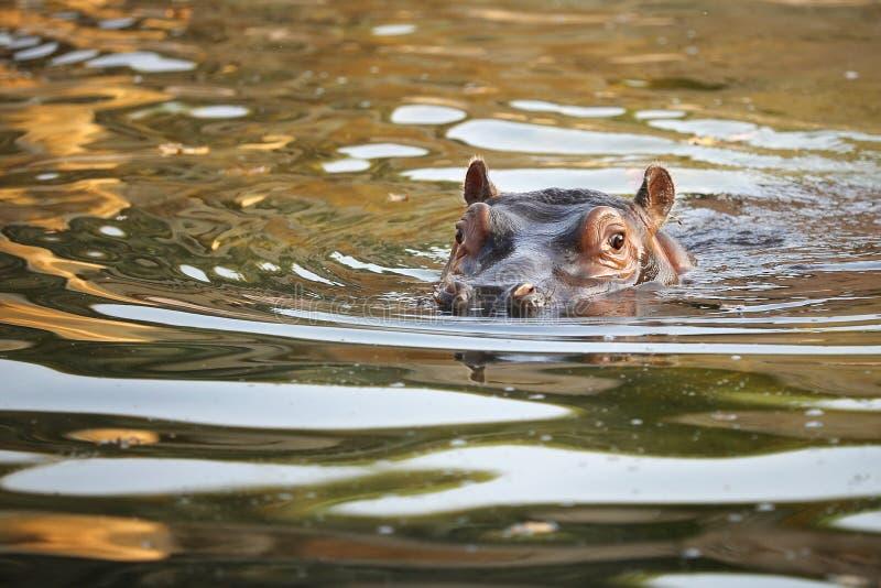 Portret hipopotam dziecko w wodzie wcze?nie rano - Hipopotamowy amphibius - obrazy stock