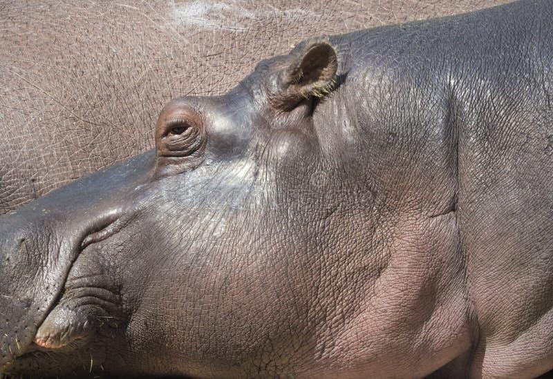 Portret hipopotam, Hipopotamowego amphibius hipo łgarska głowa, ostrość na oku zdjęcia stock