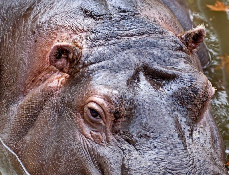 Portret hipopotam unosi się na wodzie Hipopotamowy Hipopotamowy amphibius od starożytnego grka, «rzeczny koń « zdjęcie royalty free