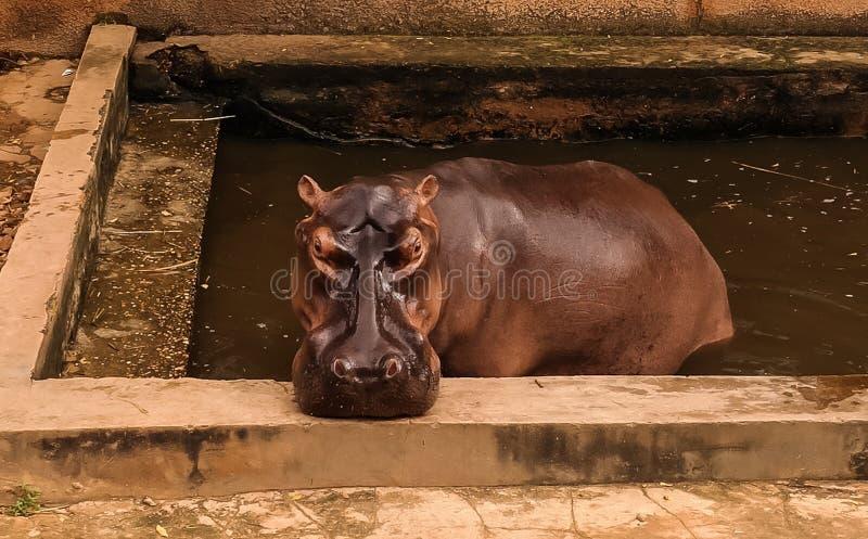 Portret hipopotam w Niamey przy Niger fotografia royalty free