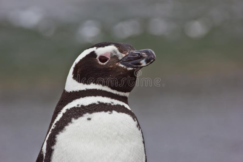 Portret Humbolds pingwin w południowym Argentyna obraz royalty free