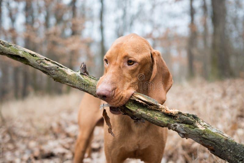 Portret hungarian vizsla pointeru pies z dużą gałąź zdjęcie stock