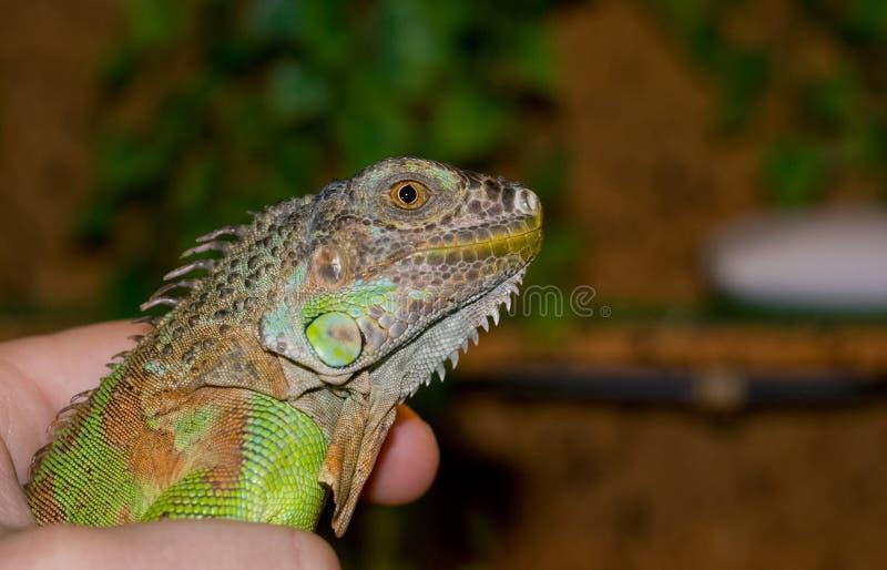 Portret iguany Zielony gad egzotyczny zwierzę domowe zdjęcie royalty free