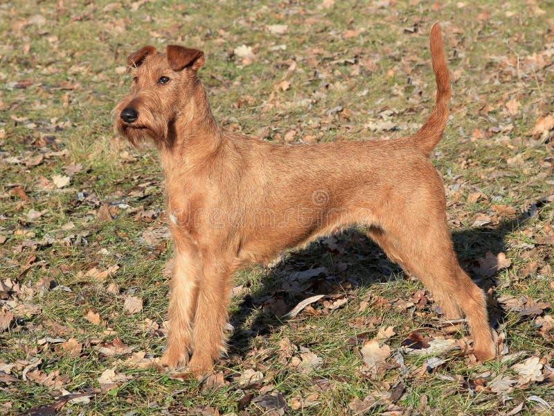 Irlandzki Terrier w parku obrazy stock