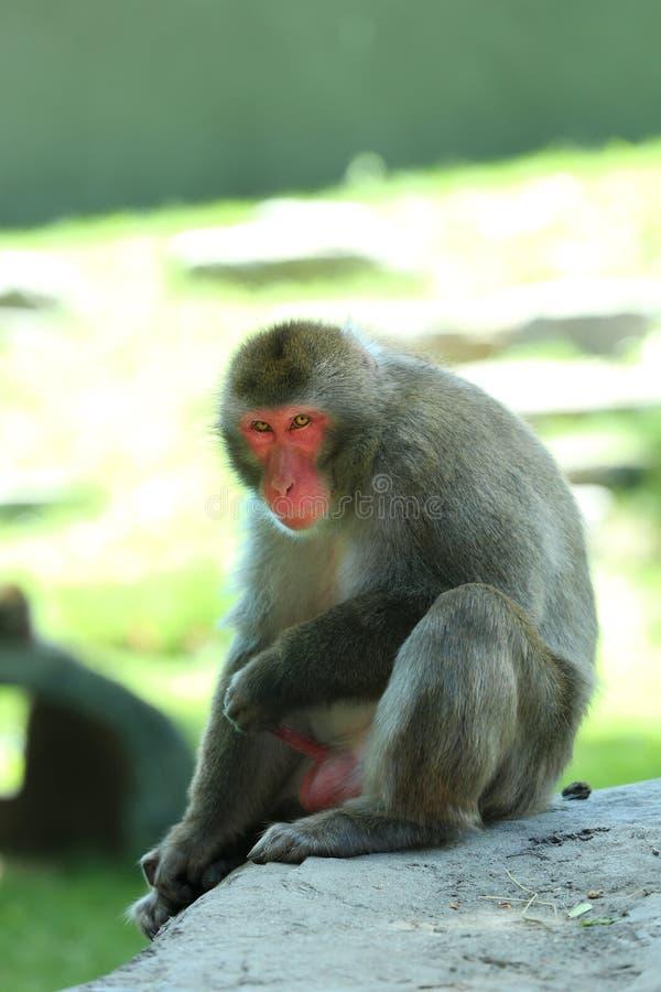 Portret japoński makak z żółtymi oczami zdjęcie royalty free