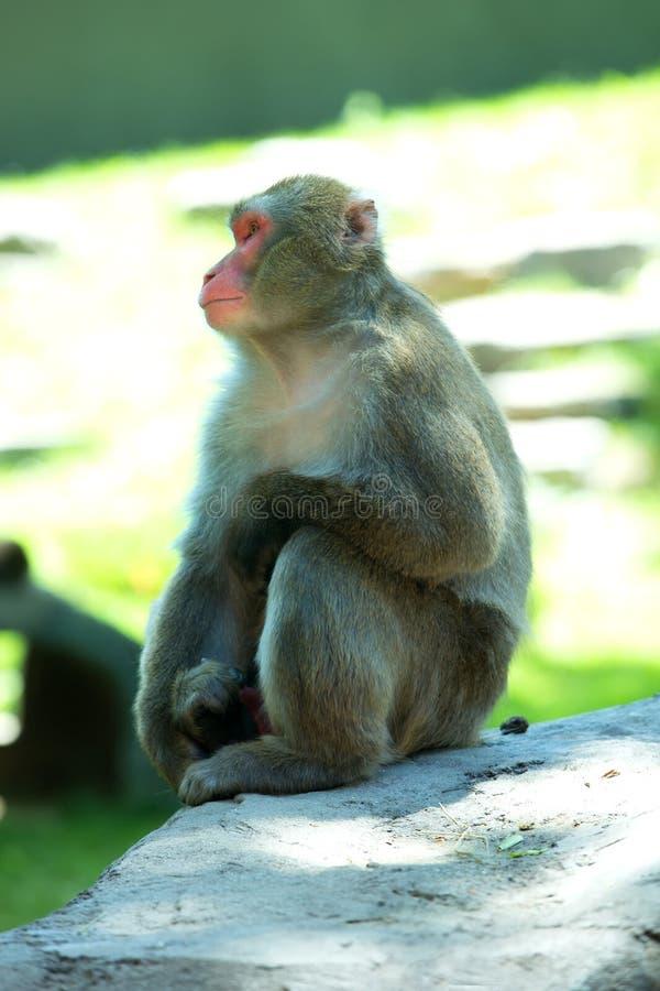 Portret japoński makak z żółtymi oczami obrazy royalty free