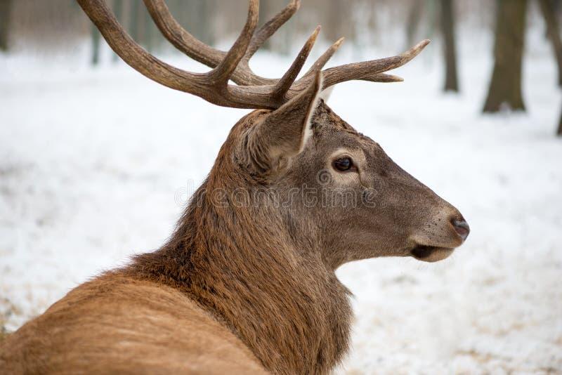 Portret jeleni obsiadanie W Forrest fotografia royalty free