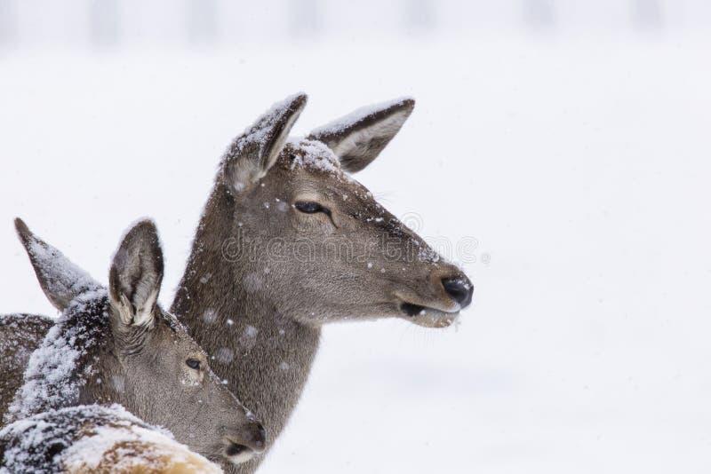 Portret jelenia w sezonie zimowym i śnieg fotografia stock