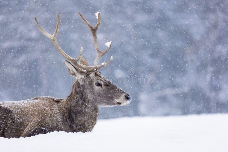 Portret jelenia w sezonie zimowym i śnieg zdjęcia stock