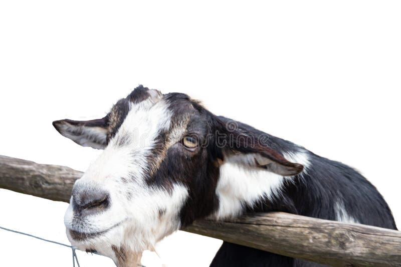 Portret kózka odizolowywająca na białym tle Skupia się na głowie czarny i biały kózka w migdali zoo obraz stock