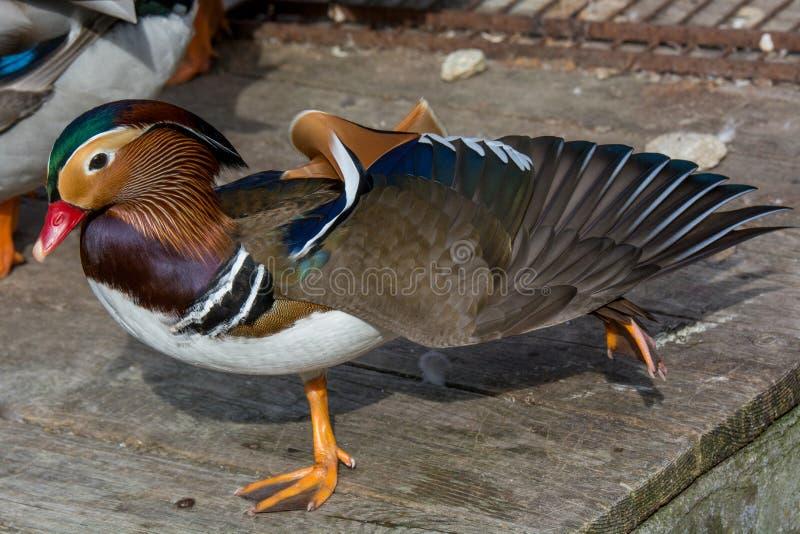 Portret kaczka Zamyka w górę męskiego mandarynki kaczki Aix galericulata zdjęcie stock