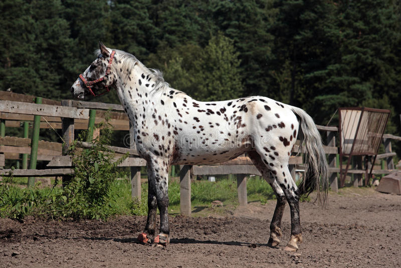 Portret knabstrupper trakenu koń obrazy royalty free