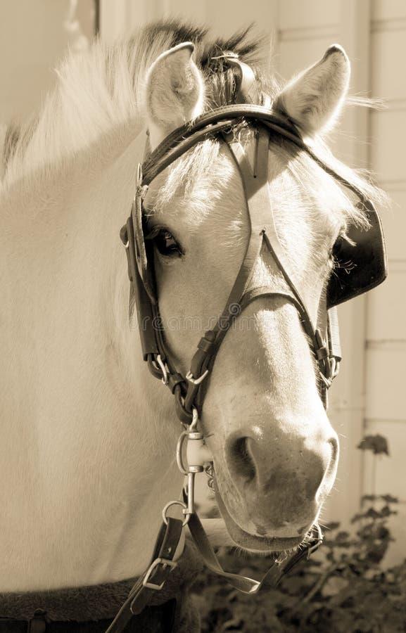 portret koń. obrazy royalty free