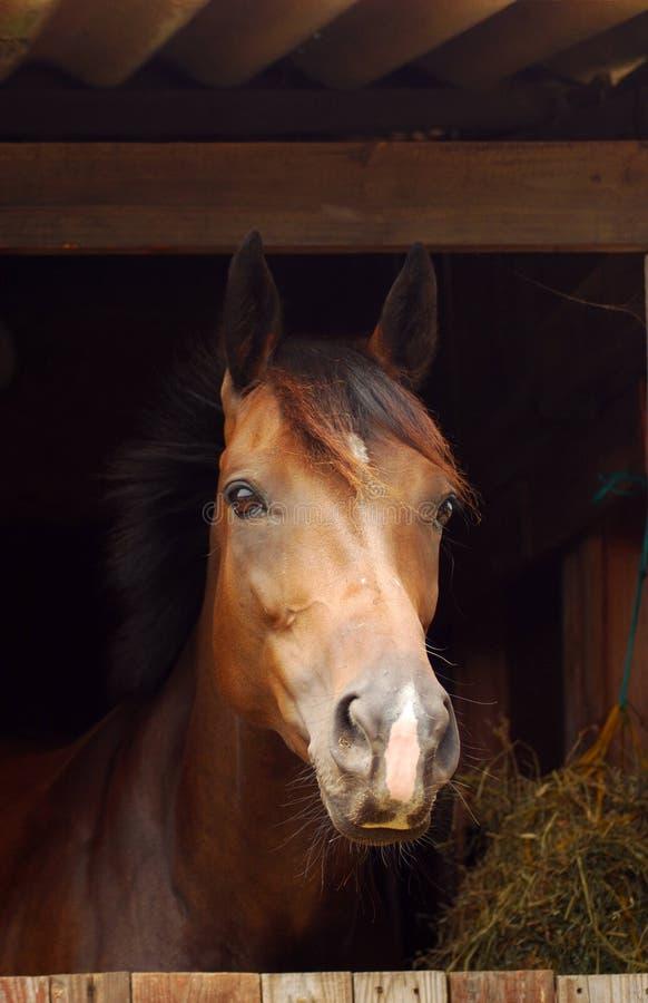 Portret koń w stajence fotografia stock