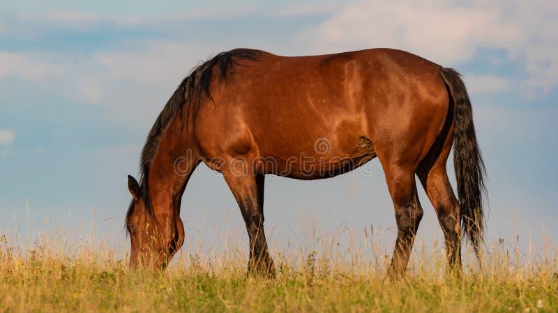 Portret końska pozycja z jego plecy słońce przy zmierzchem na niebie i polu obrazy royalty free