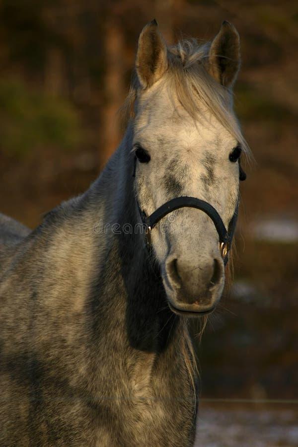 Download Portret koń. obraz stock. Obraz złożonej z oczy, naturalny - 142243