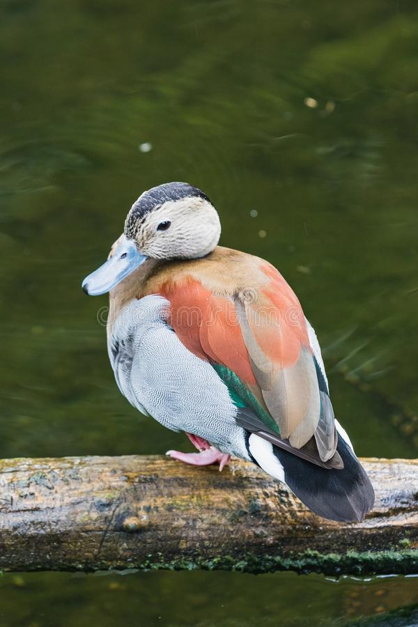 Portret kolorowa śliczna upierścieniona cyraneczki kaczka obrazy royalty free