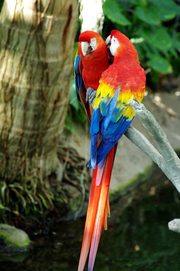Portret kolorowej pary ary Szkarłatna papuga przeciw dżungli tłu fotografia stock