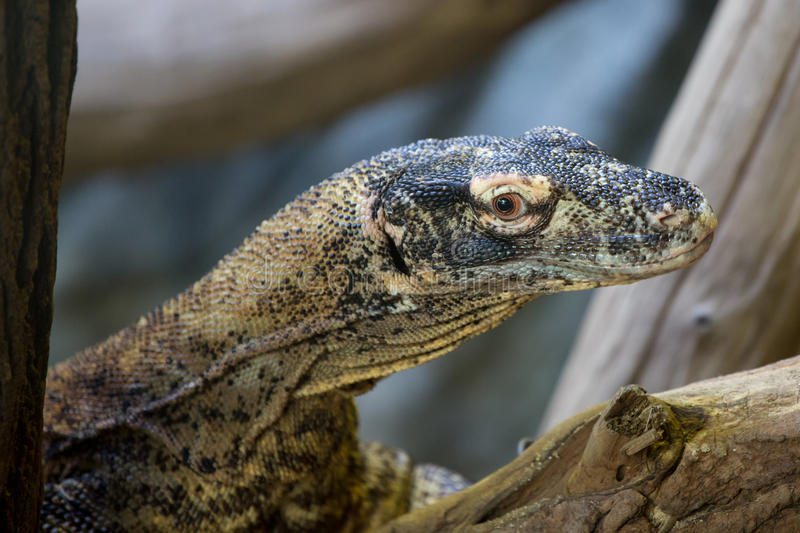 Download Portret Komodo Smok obraz stock. Obraz złożonej z zwierzę - 57660349