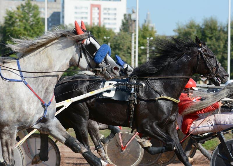 Portret konia kłusaka traken w ruchu na hipodromu fotografia stock
