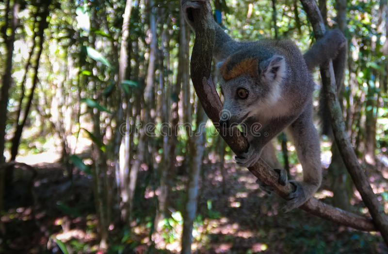 Portret koronowany lemur przy drzewem, Atsinanana region, Madagascar obraz stock