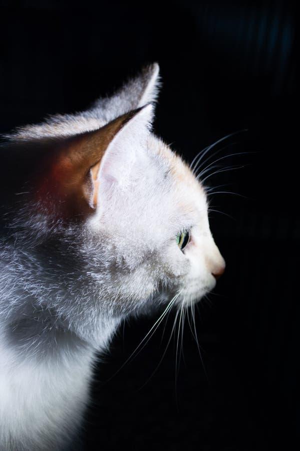 Portret kot, boczny widok na ciemnym tle, zdjęcia stock