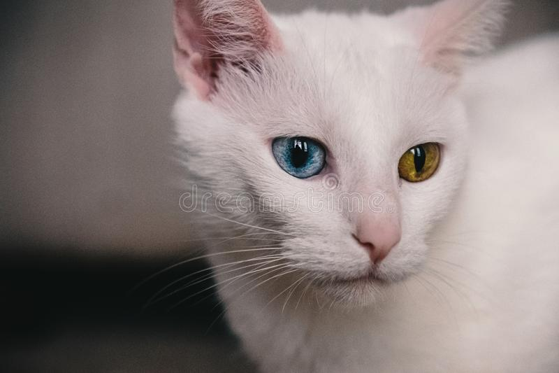 Portret kot z heterochromia fotografia stock