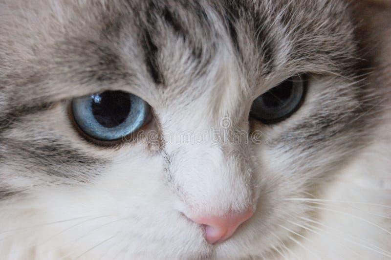 Portret kot z niebieskimi oczami, miękki żakiet, długi wąsy fotografia royalty free