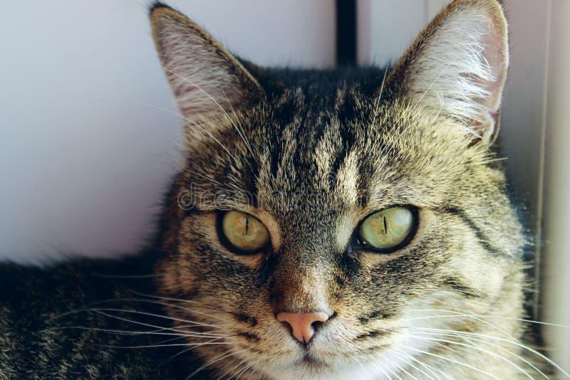 Portret kot, zamyka up Zwierz?ta domowe, zwierz?ta dni, zwierz?cia poj?cie TARGET507_0_ przy kamer? Tabby kot obrazy royalty free