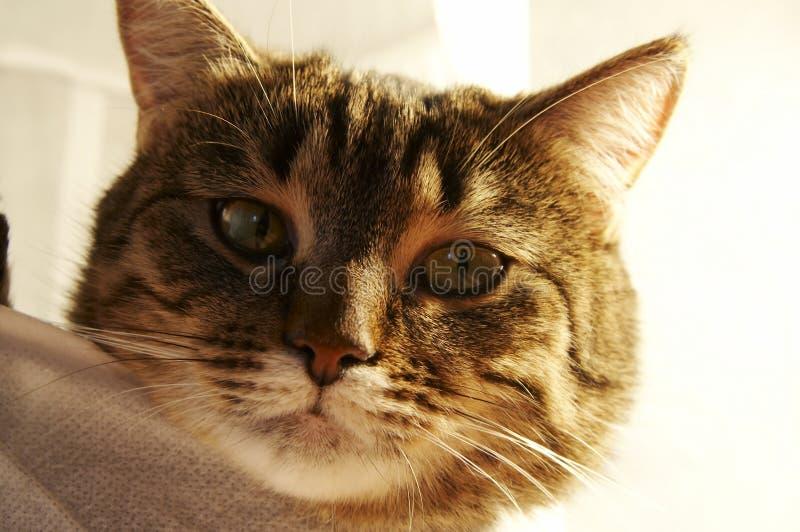 portret kota zdjęcia stock