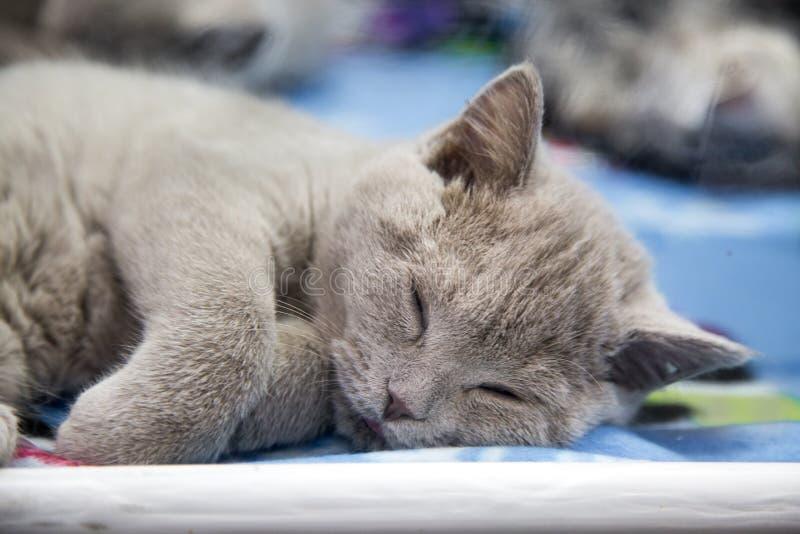 Portret kota trakenu Brytyjski kolor - błękit w sypialnym stanie Selekcyjna ostro?? zdjęcie royalty free