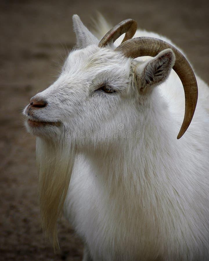 Download Portret kozie zdjęcie stock. Obraz złożonej z zwierz, stajnia - 32992