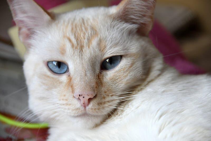 Portret Krótkiego włosy kot obrazy stock