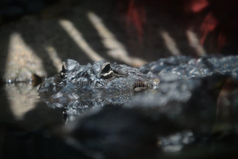Portret krokodyl w wodzie fotografia stock