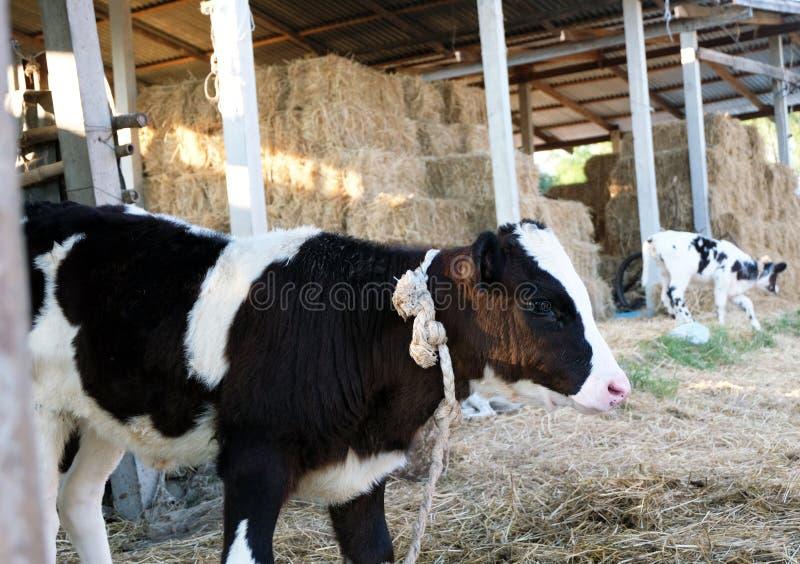Portret krowa na tle gospodarstwo rolne zdjęcia stock
